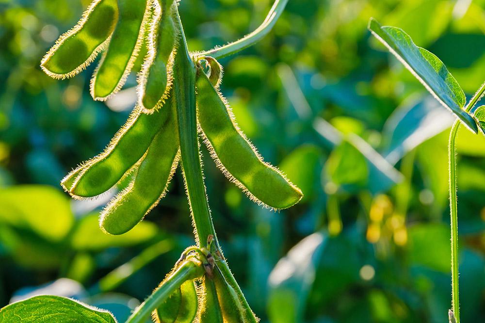 枝豆の栽培