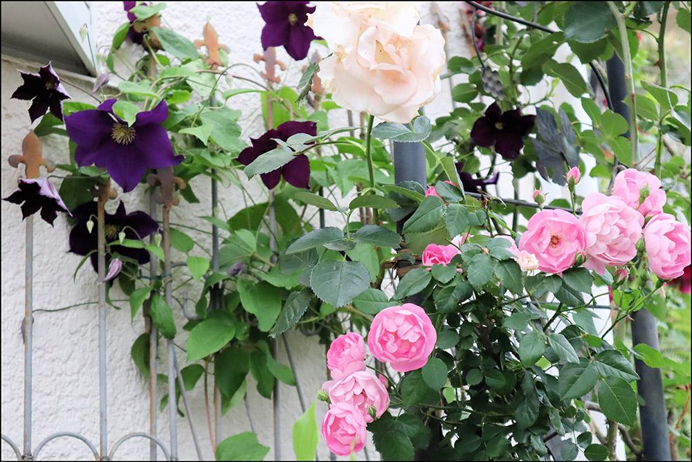フェンスのバラ'ロココ'