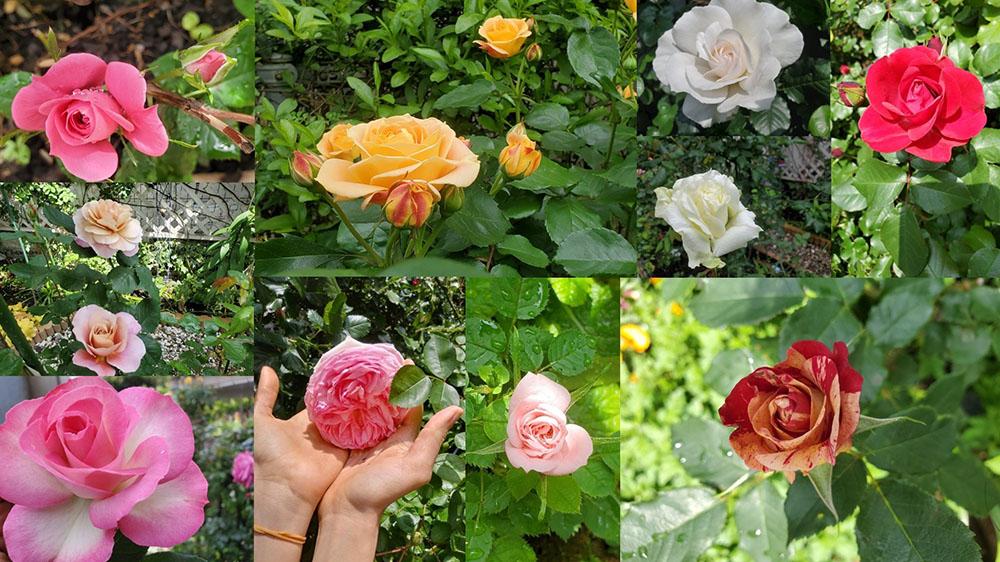 サヘル・ローズさんのバラ