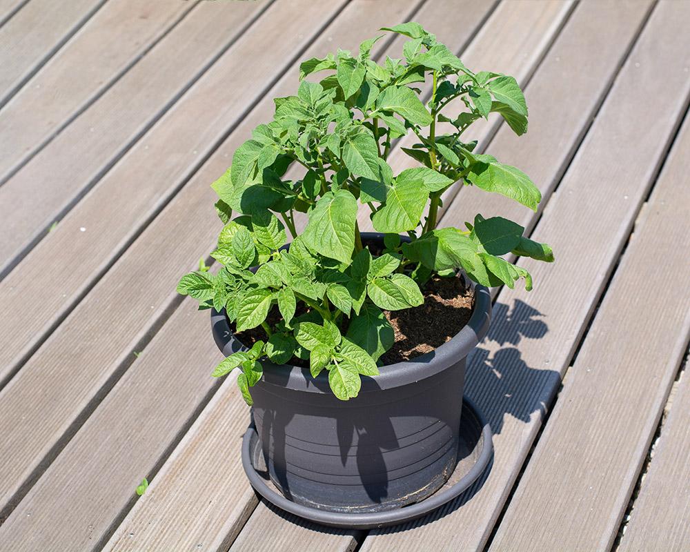 ジャガイモのプランター栽培