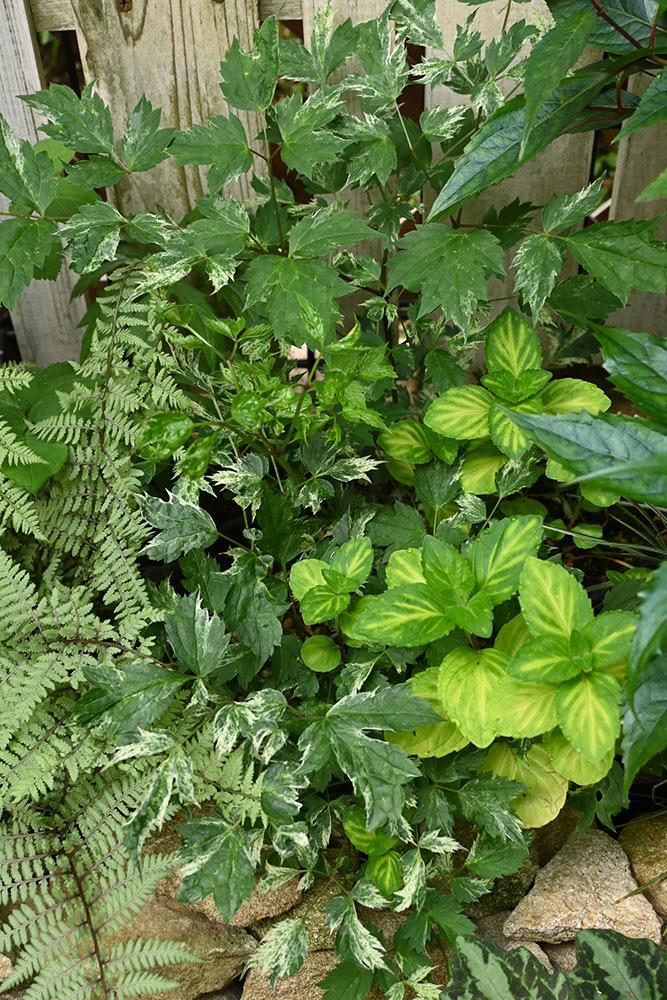 北海道からの植物