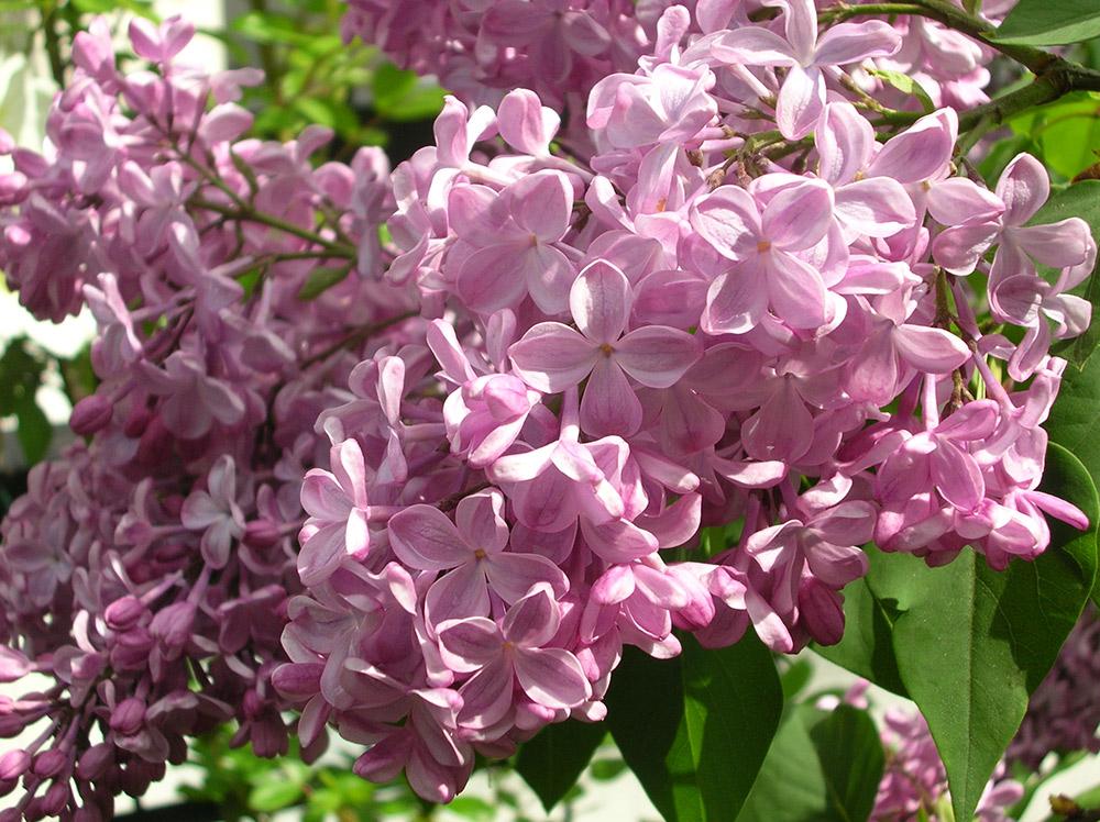 ライラックの花色