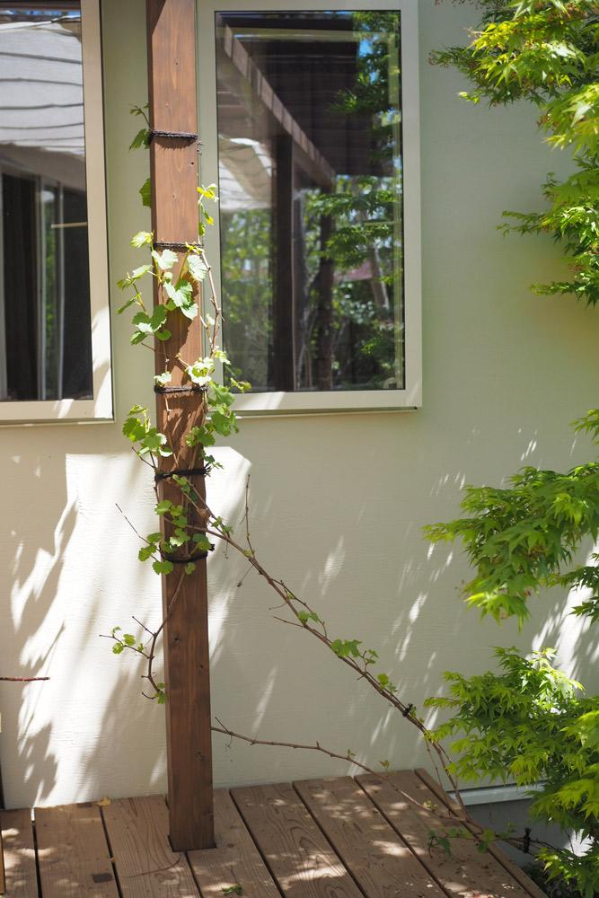 冬に植えたヤマブドウ