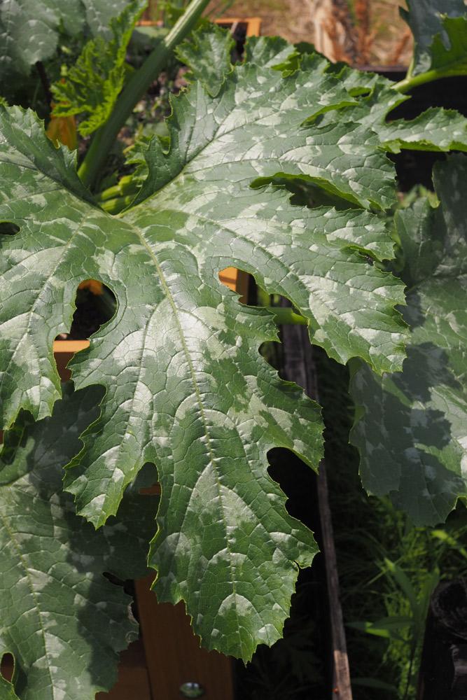 ズッキーニの葉