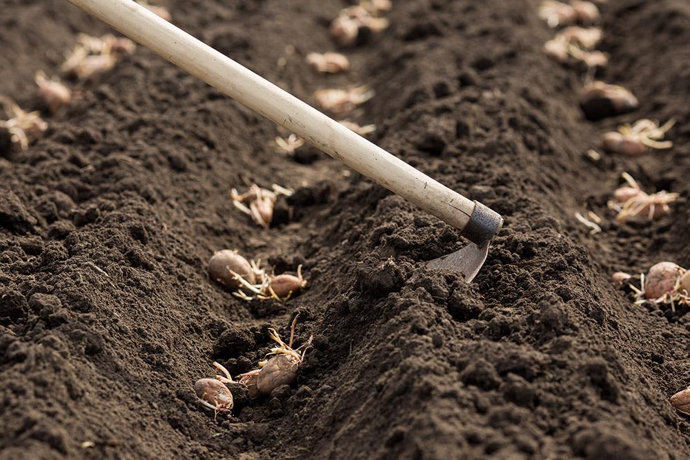 ジャガイモの栽培