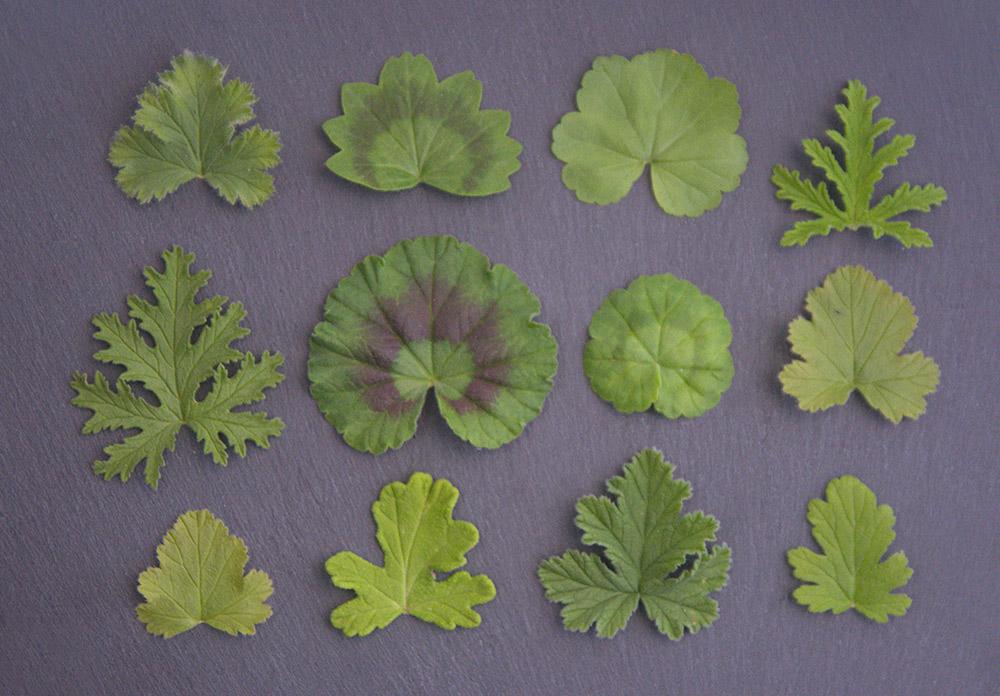 センテッドゼラニウムの葉