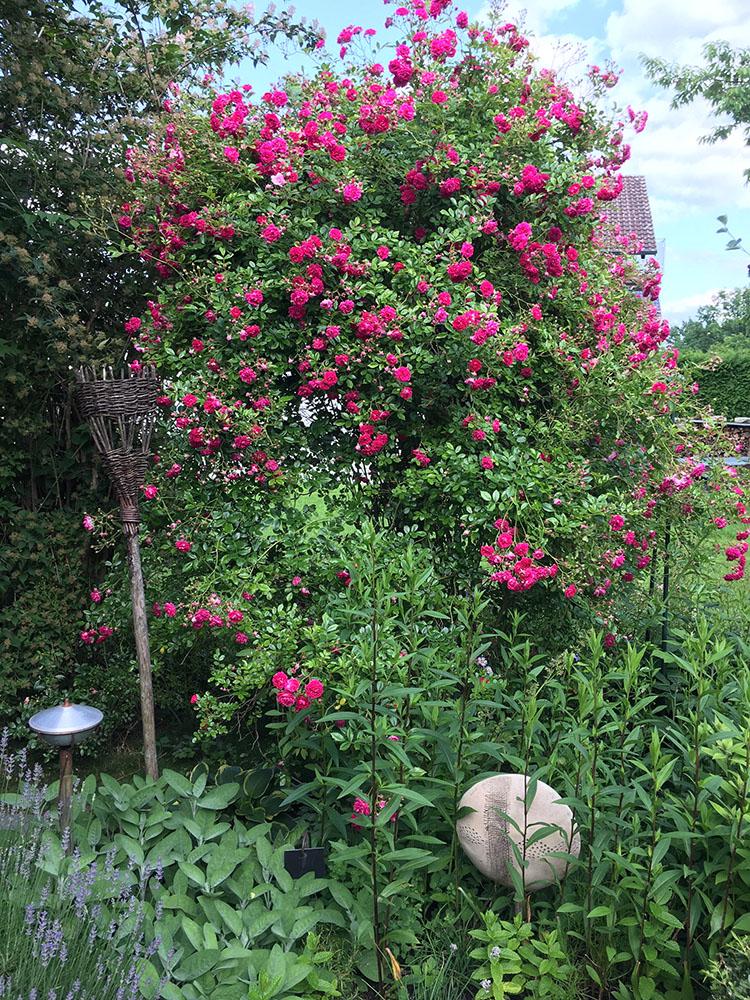 庭に咲くバラ