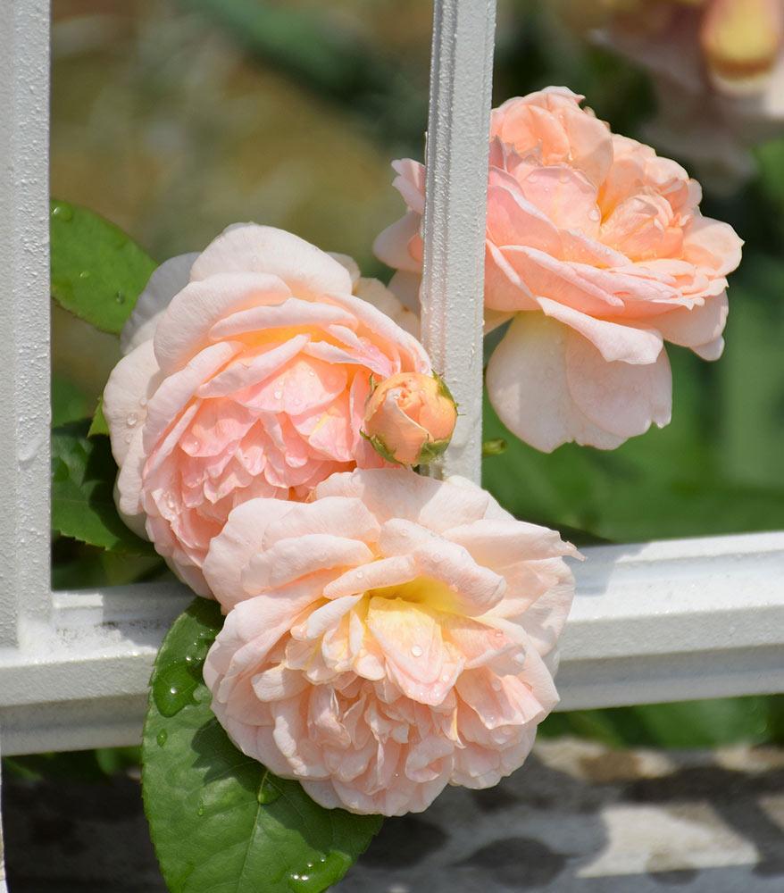 イングリッシュローズ'エヴリン'の二番花