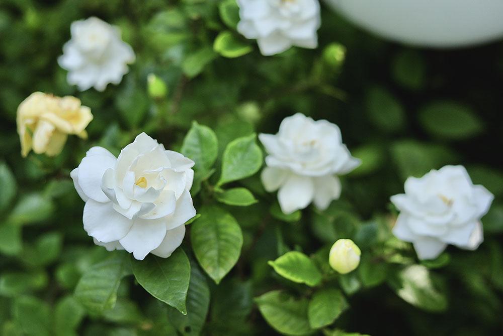 ガーデニアの花