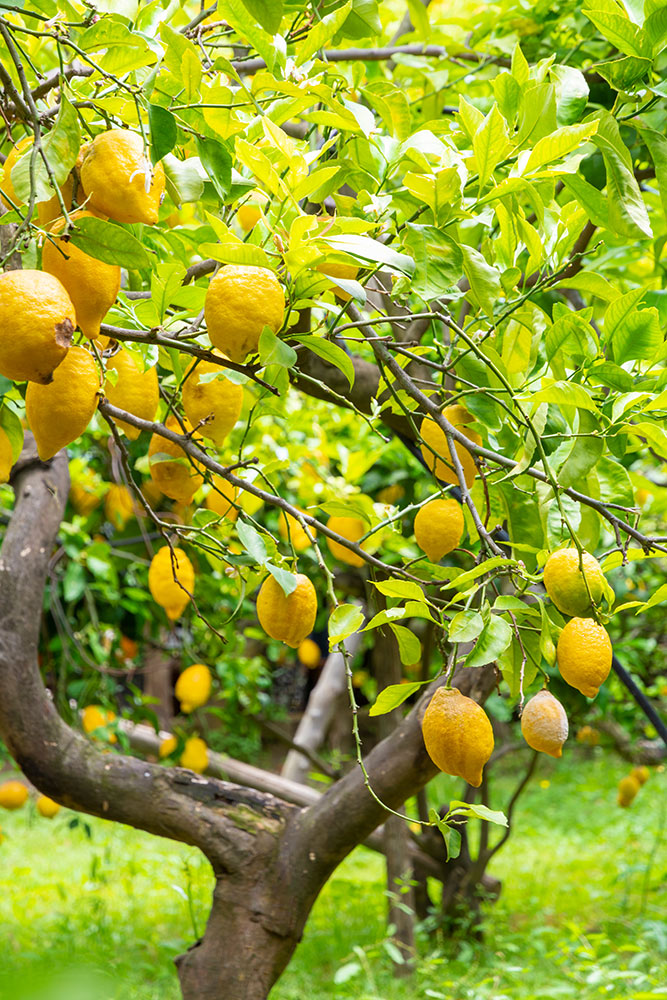 柑橘類の栽培