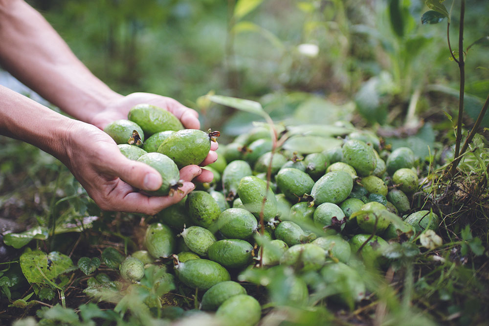フェイジョアの収穫