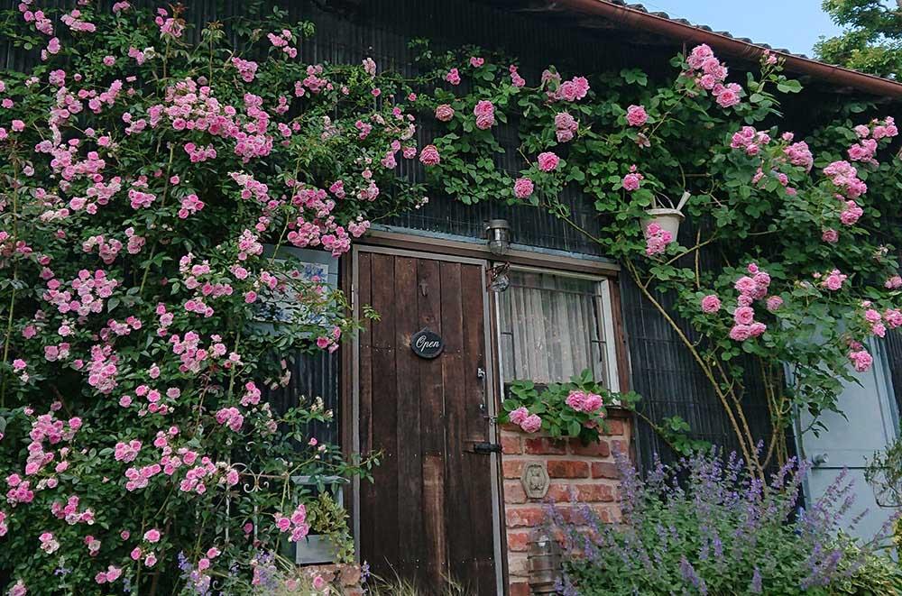 納屋を覆うつるバラ