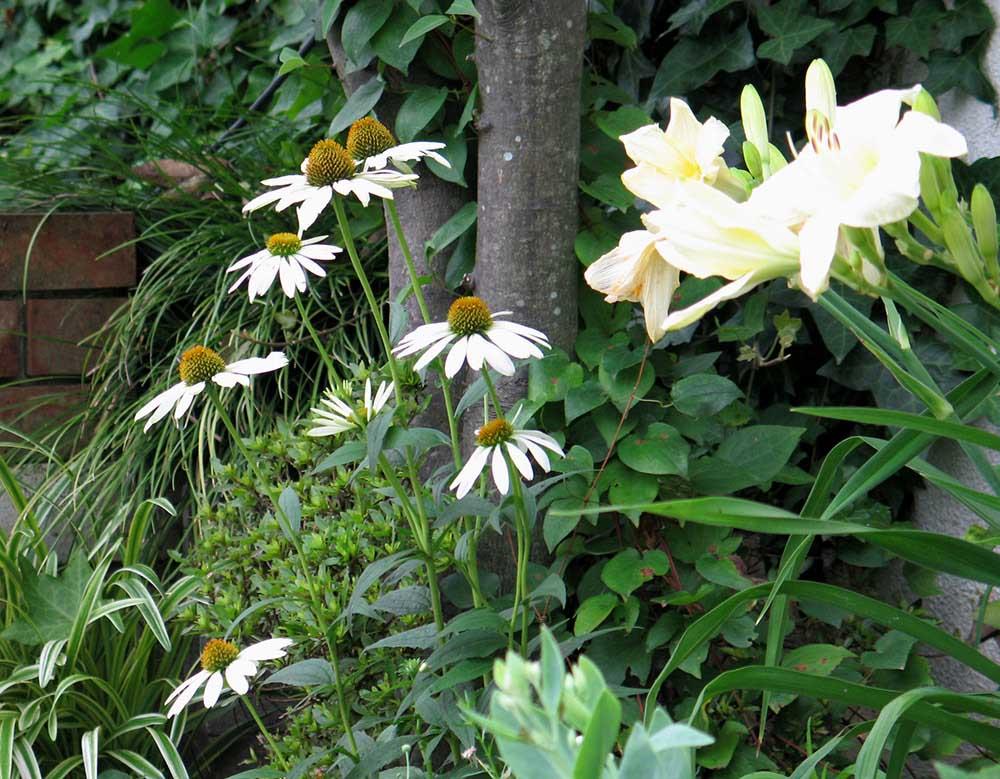 白花の一重のヘメロカリス