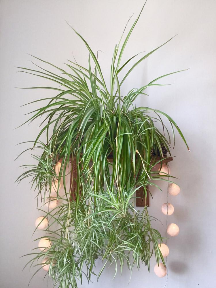 壁に取り付けた植物の棚に観葉植物のオリヅルランとLED照明をコーディネート。Challenger Banks/Shutterstock.com