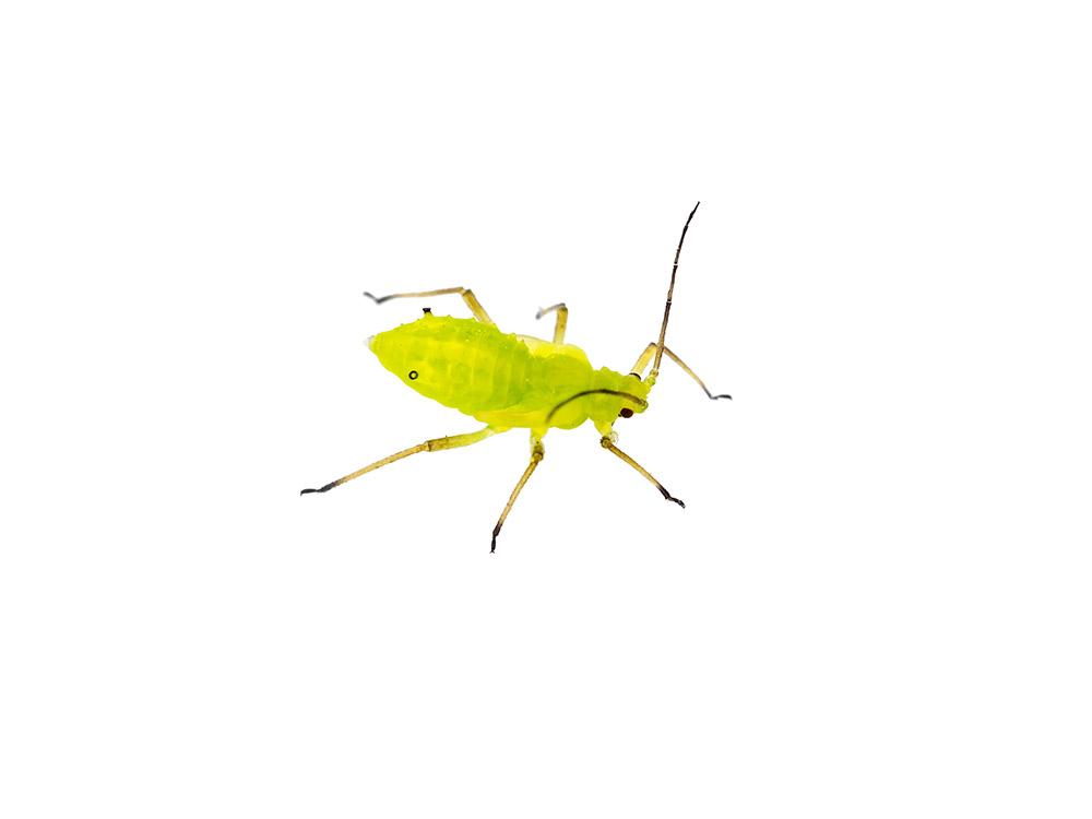 マンデビラの病害虫