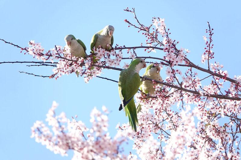 アーモンドの花とオキナインコ