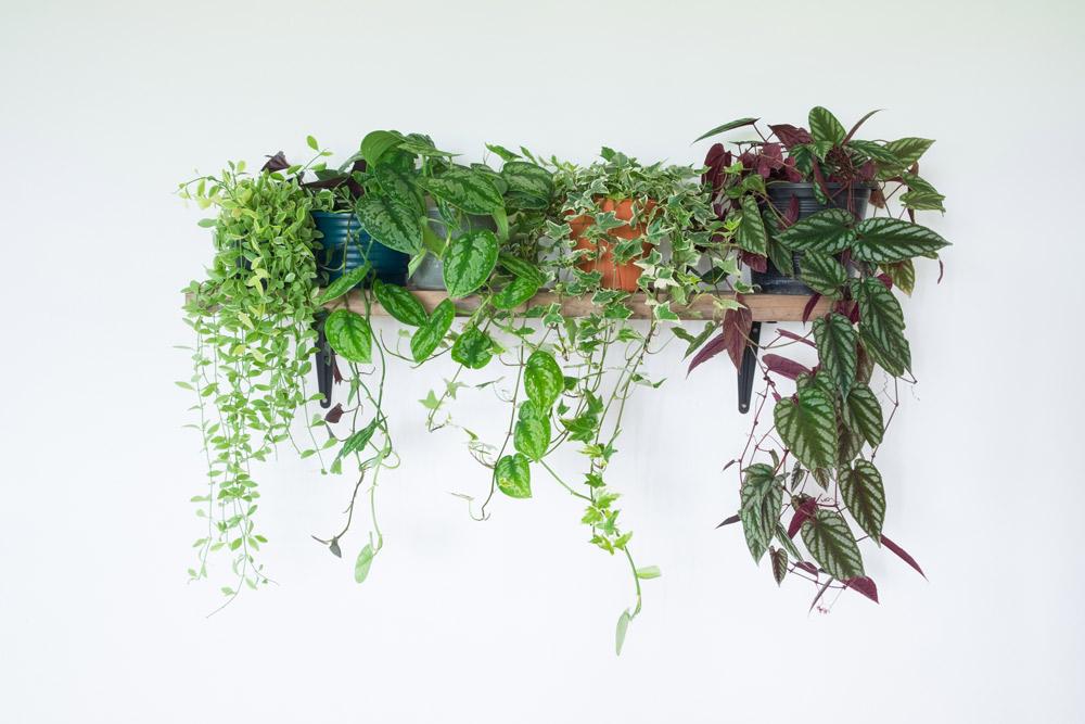 高い場所の棚に飾るのはつる性のヘデラやホヤ、フィロデンドロン、シッサス・ディスコロルなど葉が枝垂れるものが美しい。rattiya lamrod/Shutterstock.com