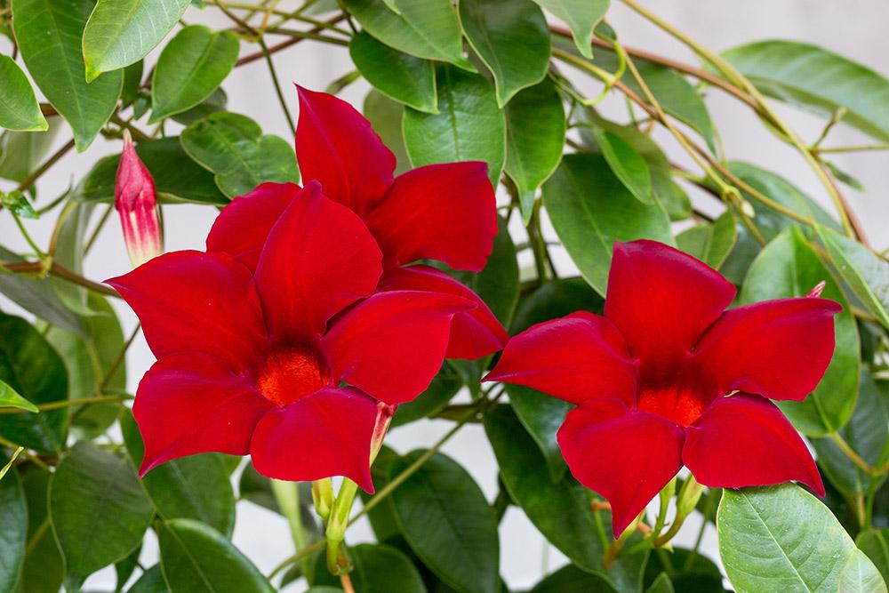 マンデビラの花