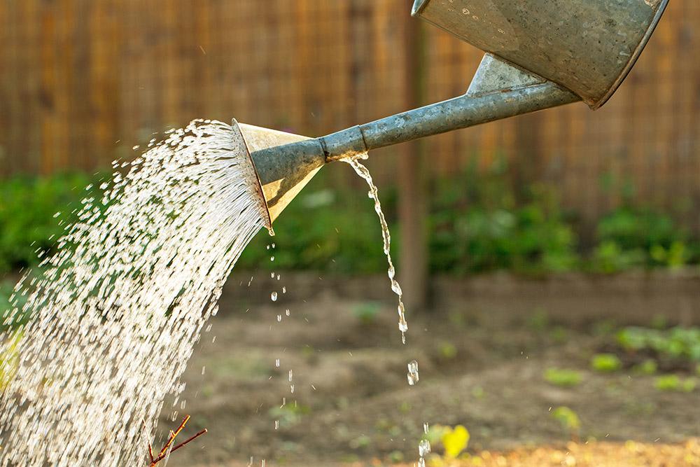サルスベリの水やり