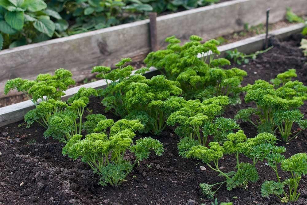 パセリの栽培環境
