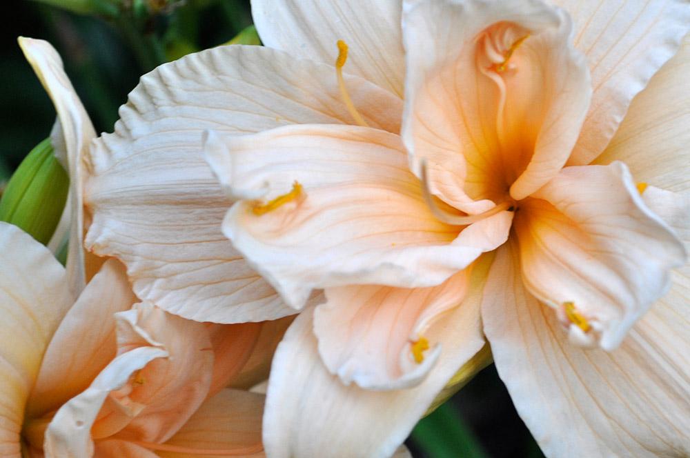 八重咲きのヘメロカリス