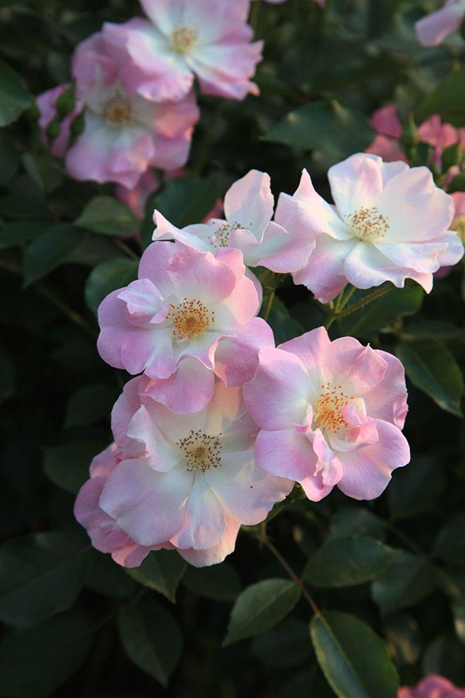 バラ'花の道・タカラヅカ'
