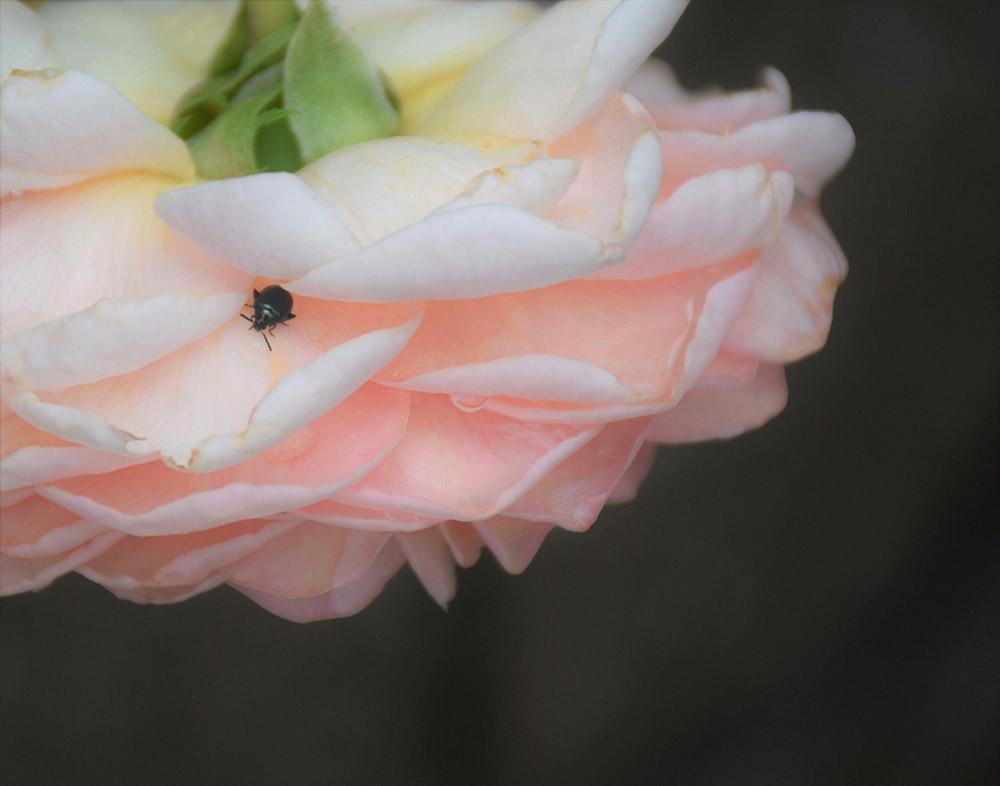 梅雨のバラ手入れ