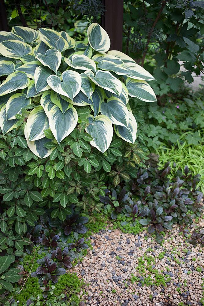 ギボウシとヘンリーヅタの寄せ植え