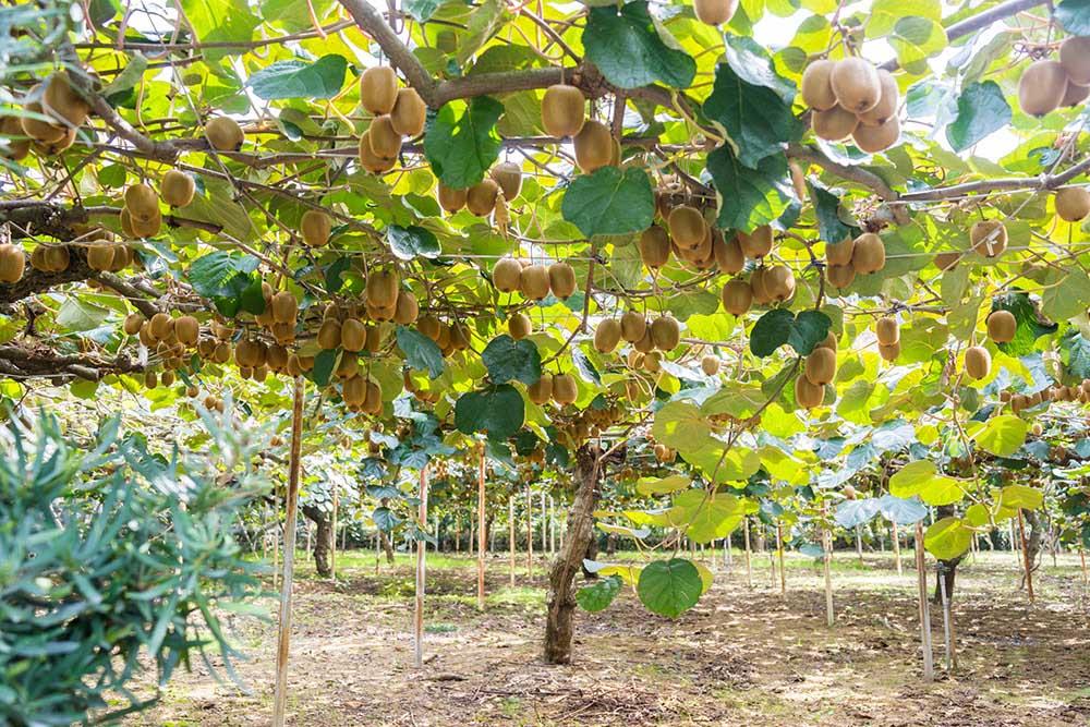 キウイフルーツの育て方