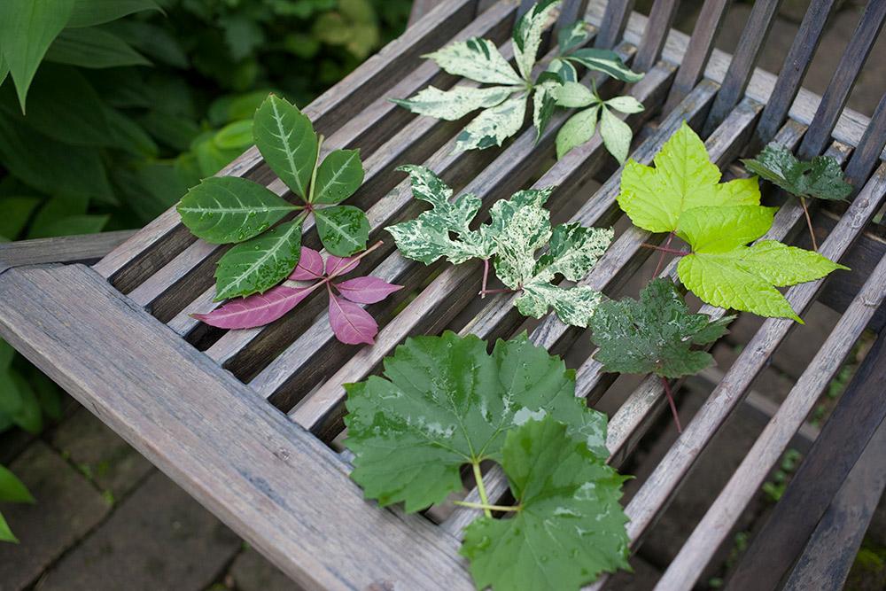 ブドウ科の植物の葉