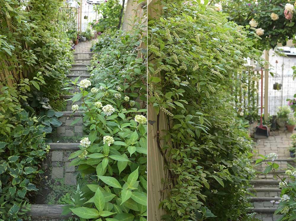 階段の庭とヤマアジサイ