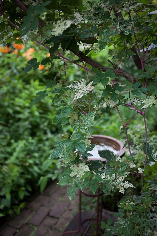 斑入りノブドウ