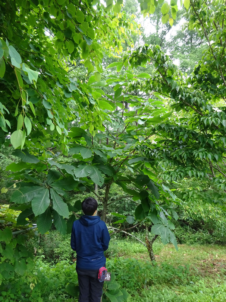 体験の森のホオノキ