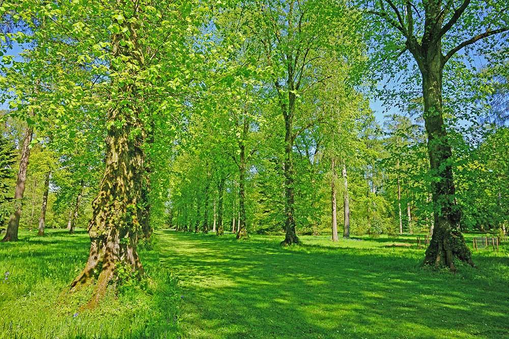リンデン(セイヨウボダイジュ)の並木