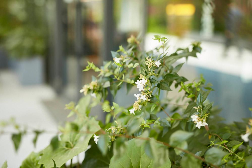 開花期の長く可憐な花を愉しませてくれる低木アベリア