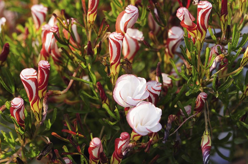 オキザリス・バーシカラー Oxalis versicolor