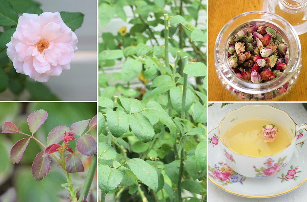 夏のバラ回復法