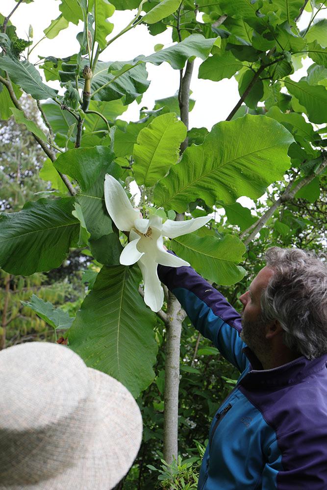 ホオノキの仲間の白い花