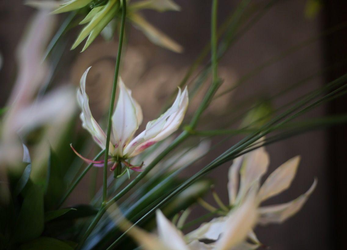 白いグロリオサ'パールホワイト'