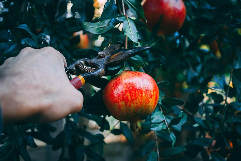 ザクロの摘果