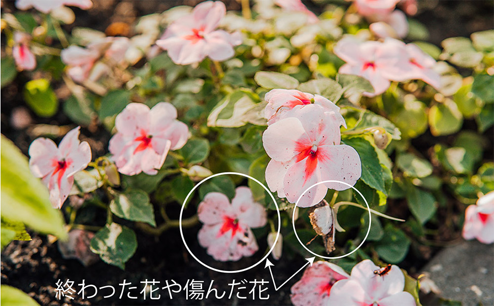 インパチェンスの花殻摘み