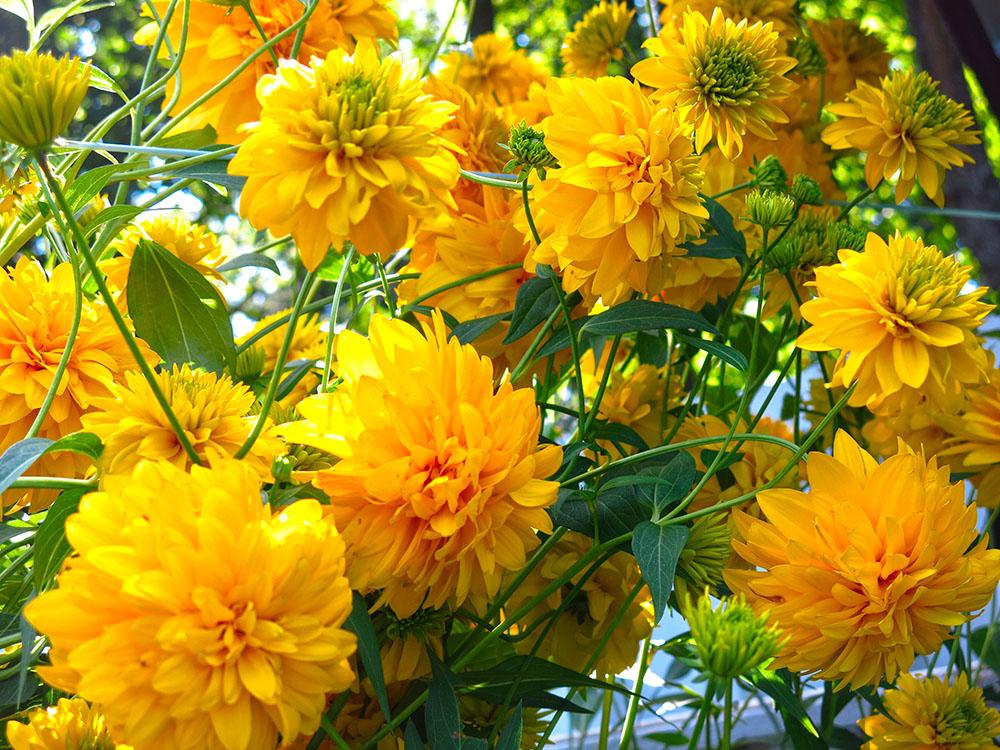 八重咲きのルドベキア