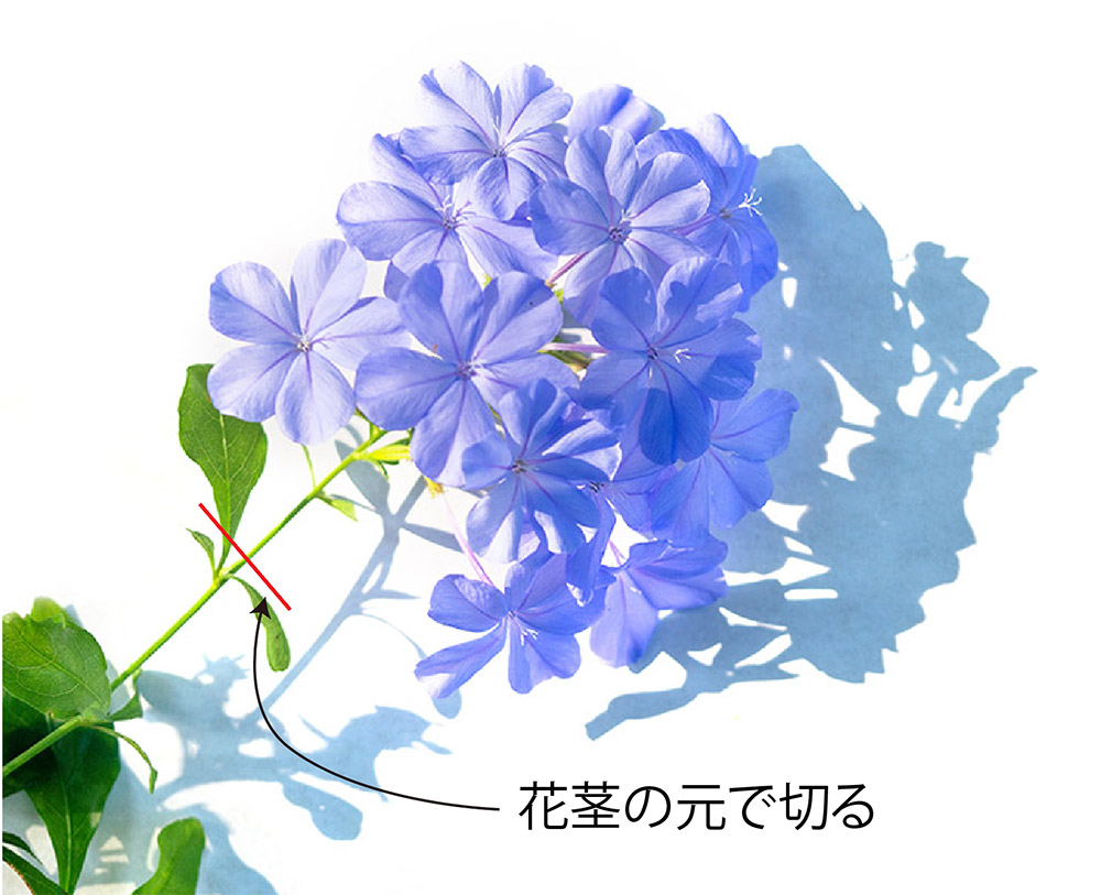 ルリマツリの花殻つみ