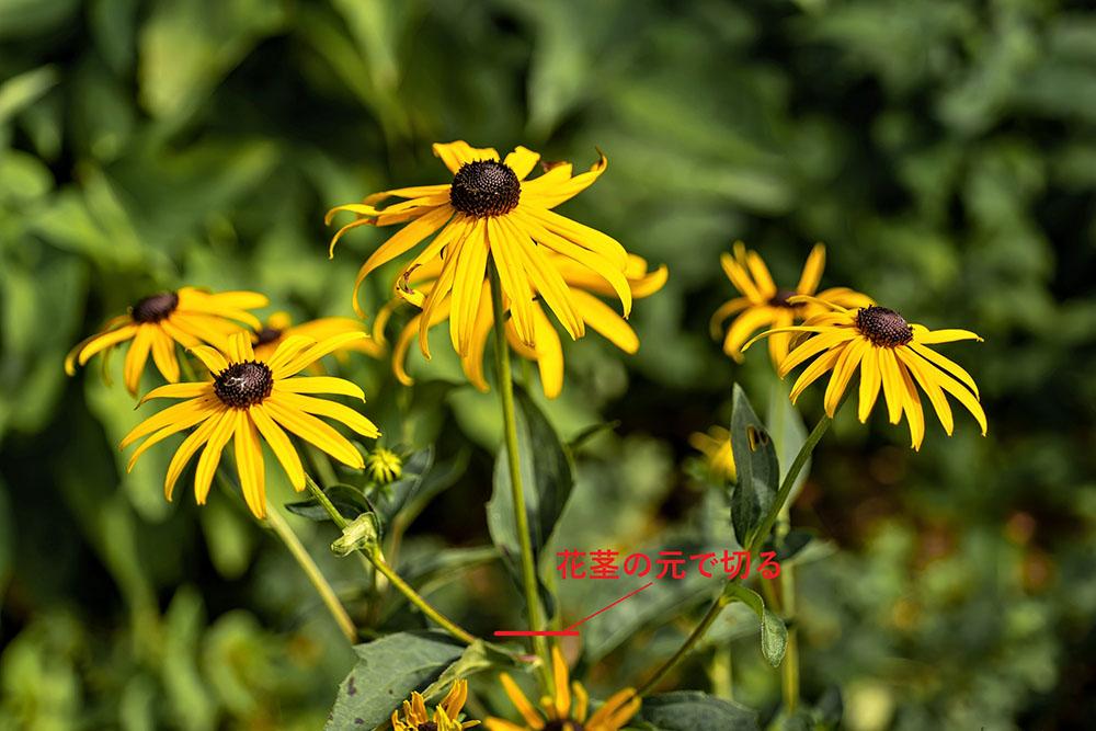 ルドベキアの花殻摘み