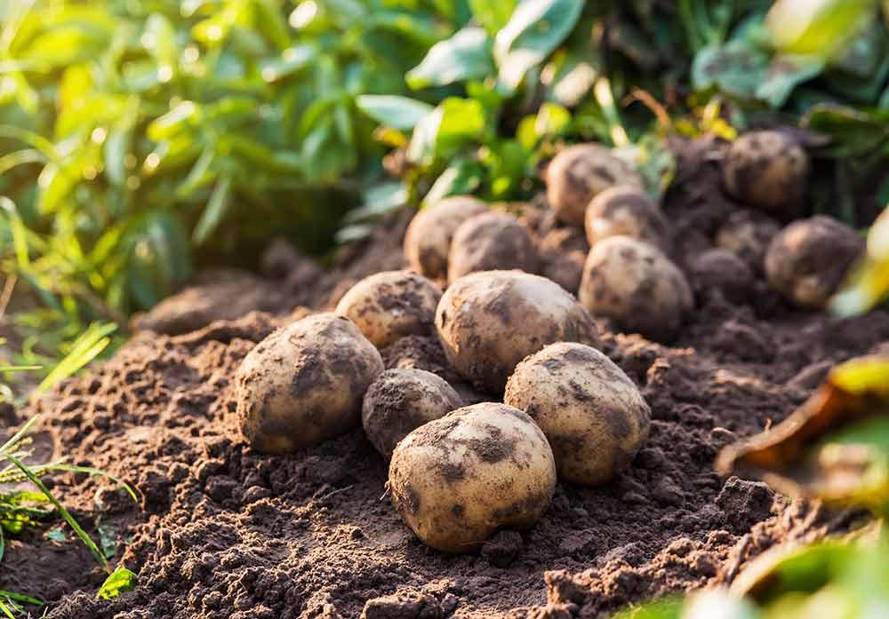秋ジャガイモの育て方