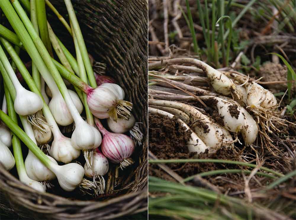 ニンニクとラッキョウの栽培