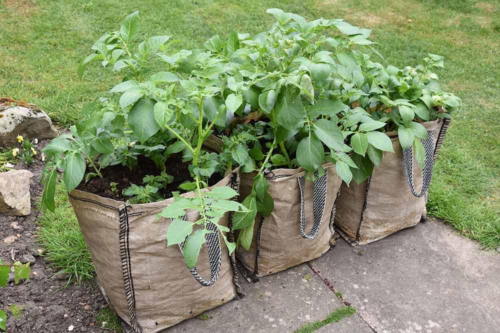 ジャガイモの袋栽培