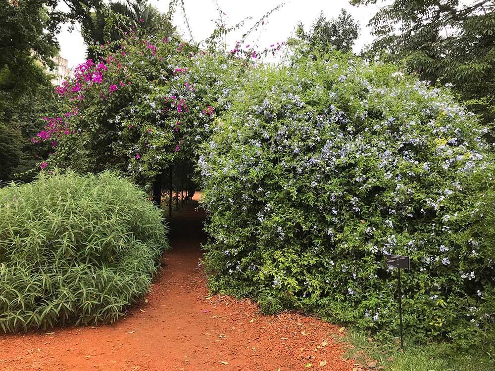 ルリマツリの樹形