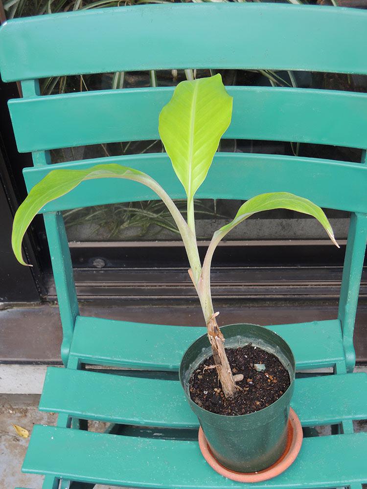 バナナの苗