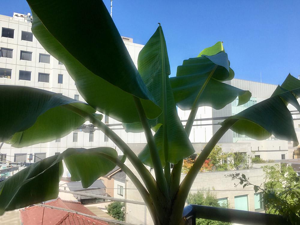 ベランダのバナナの木